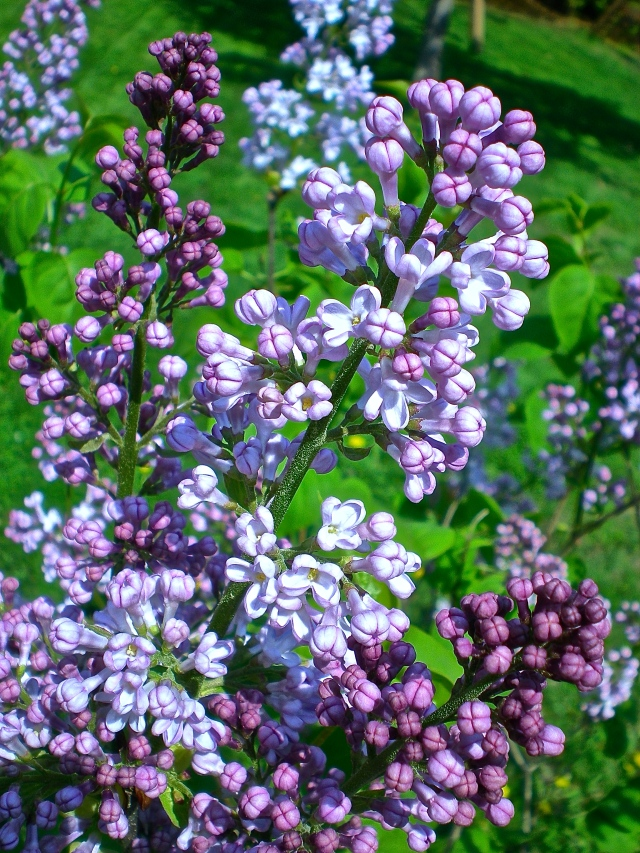 After the long, drab winter, popped lilacs are like purple pyrotechnics. (Photo: PaC)